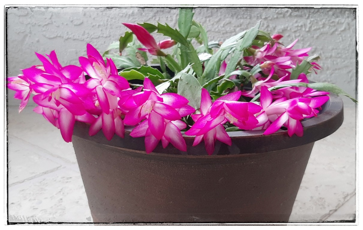 Your Christmas Cactus you saved from 3 segments has many brilliant blooms.