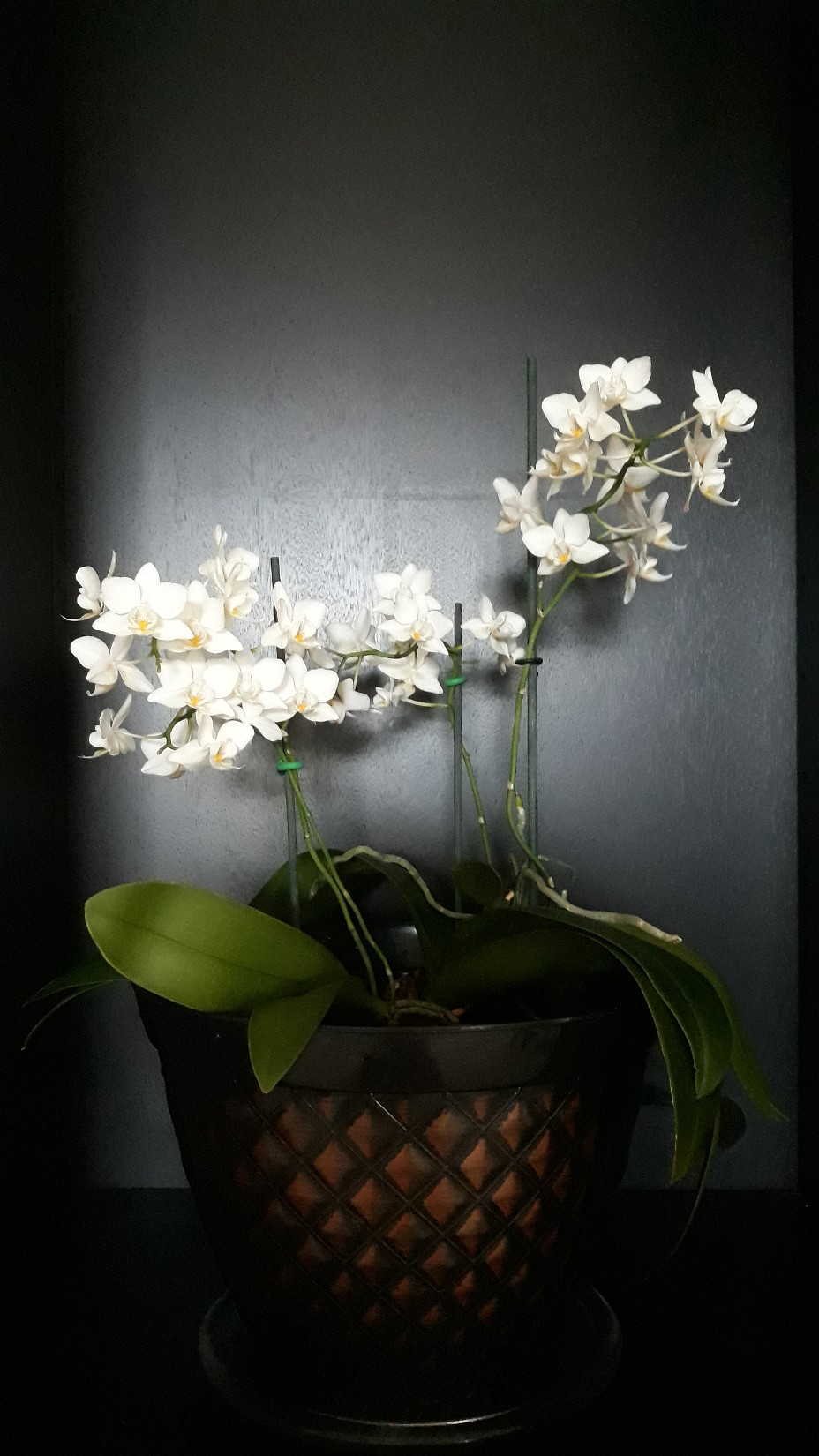 Your Orchids in full bloom now.