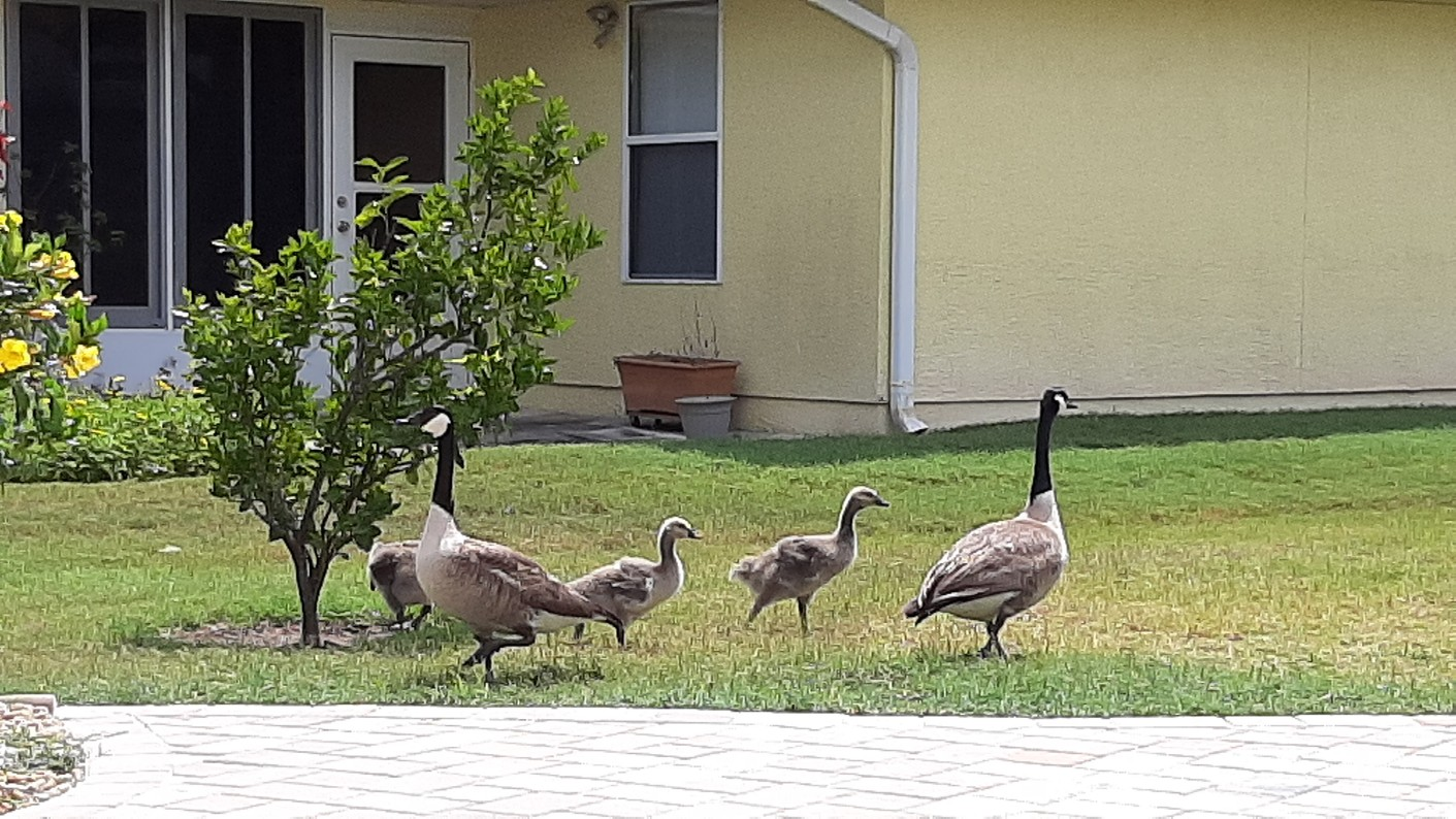 Our Geese had Goslings. So wonderful to see them.